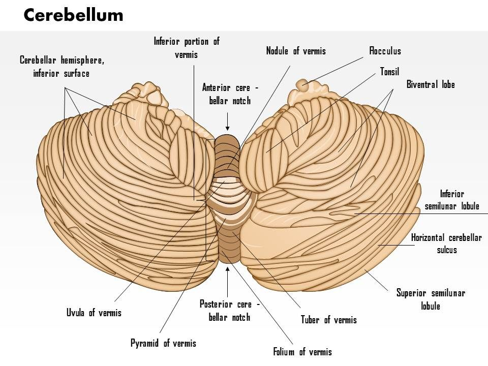 0614 Cerebellum Medical Images For PowerPoint | Templates ...