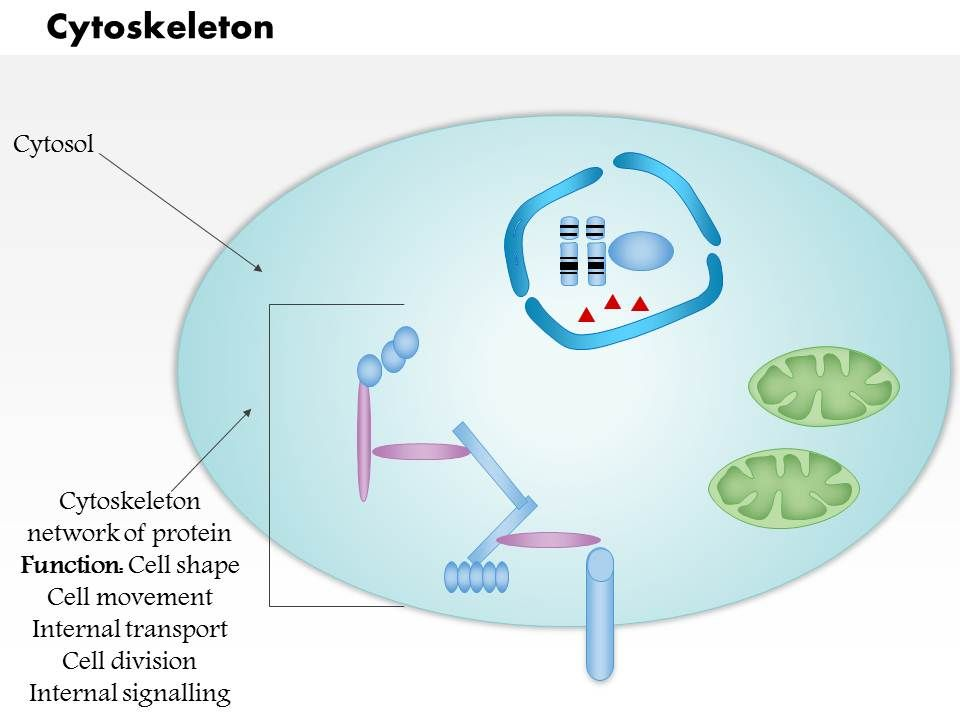 0614 cytoskeleton biology medical images for powerpoint 0614cytoskeletonbiologymedicalimagesforpowerpointslide01 0614cytoskeletonbiologymedicalimagesforpowerpointslide02 toneelgroepblik Image collections