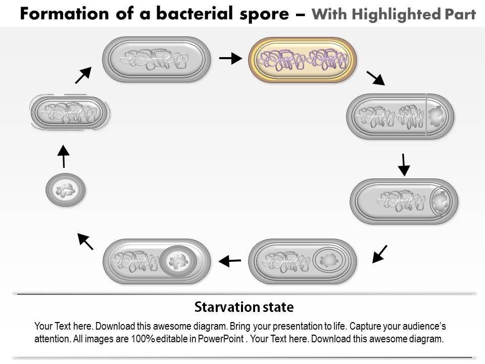 0614 formation of a bacterial spore by bacillus subtilis medical 0614formationofabacterialsporebybacillussubtilismedicalimagesforpowerpointslide03 ccuart Images