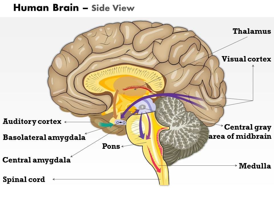 0614 Human Brain Side View Medical Images For PowerPoint ...