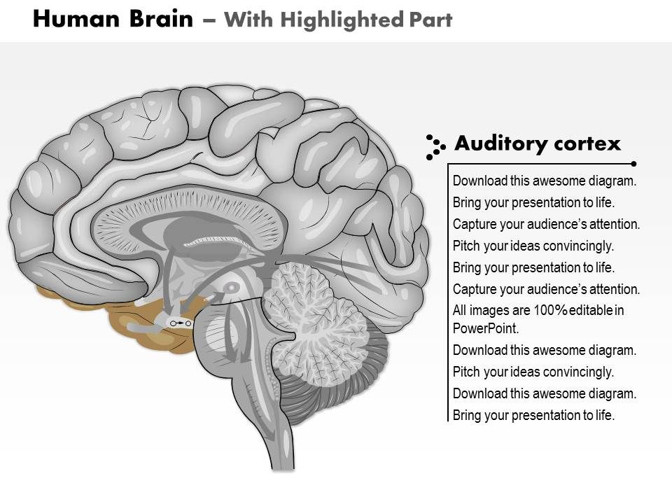 0614 human brain side view medical images for powerpoint 0614humanbrainsideviewmedicalimagesforpowerpointslide04 0614humanbrainsideviewmedicalimagesforpowerpointslide05 ccuart Choice Image