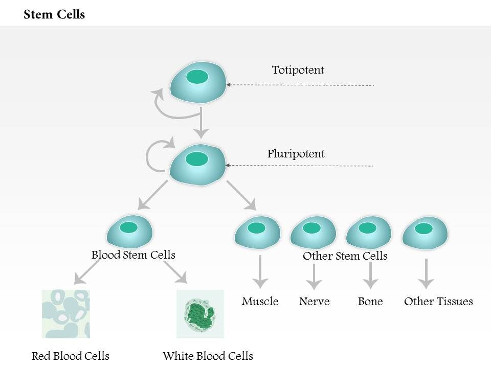 Ppt stem cell basics powerpoint presentation, free download id.