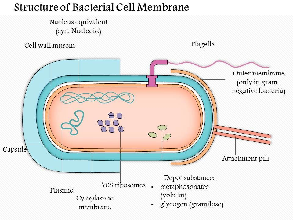 95879361 style medical 3 microbiology 1 piece powerpoint 0614structureofthebacterialcellmembranemedicalimagesforpowerpointslide01 ccuart Gallery