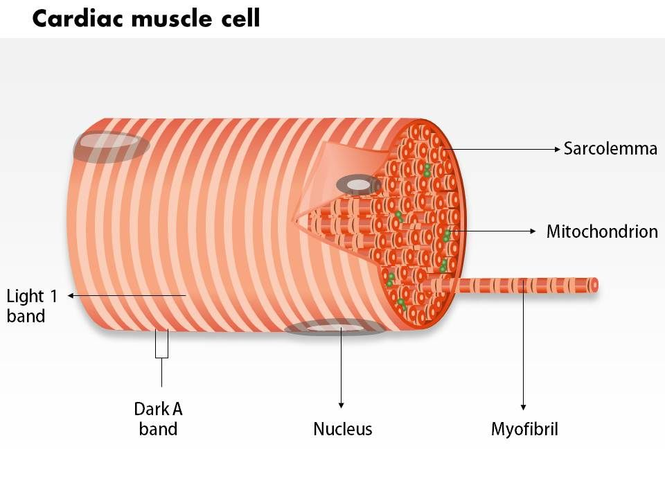 0714 Cardiac muscle cell Medical Images For PowerPoint | PowerPoint ...