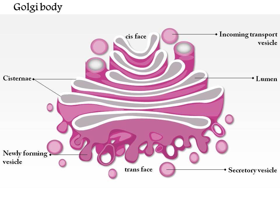 0714 golgi body medical images for powerpoint powerpoint slide