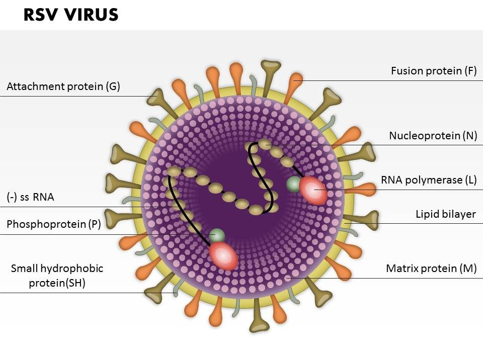 Rsv Virus Medical Images Powerpoint Structure
