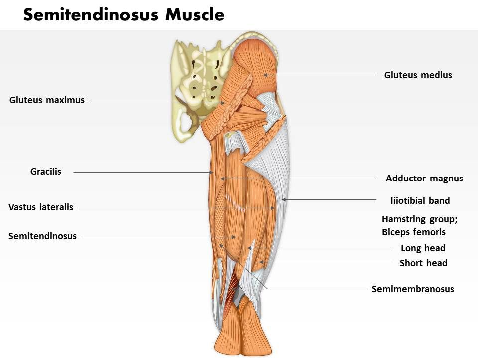 0714 Semitendinosus Muscle Medical Images For PowerPoint ...