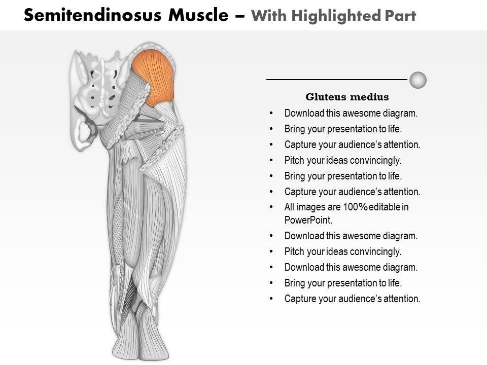 0714 semitendinosus muscle medical images for powerpoint Slide03