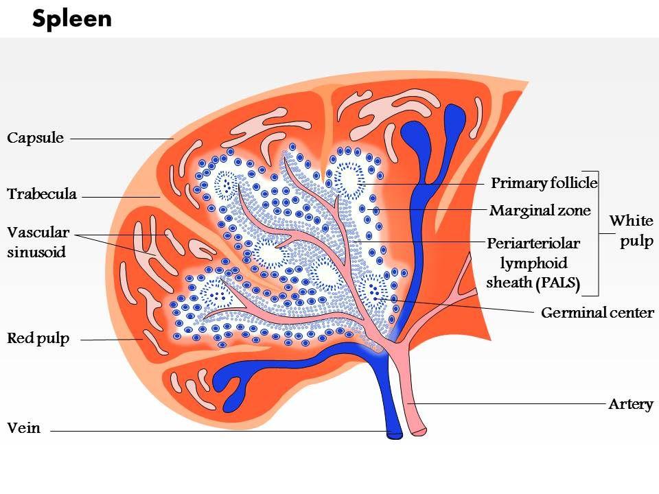0714 spleen Medical Images For PowerPoint | PowerPoint Presentation ...