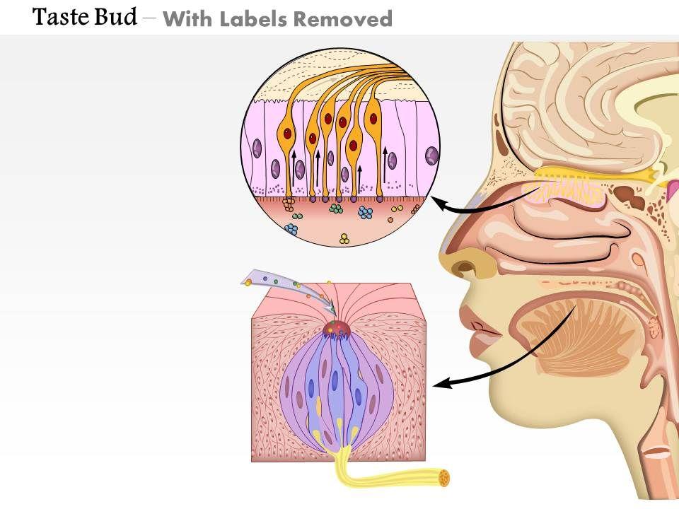 0714_taste_bud_medical_images_for_powerpoint_slide02   0714_taste_bud_medical_images_for_powerpoint_slide03