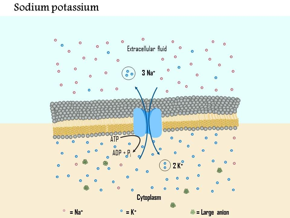 0914 Sodium Potassium Pump And Ionic Basis Of The Resting Membrane