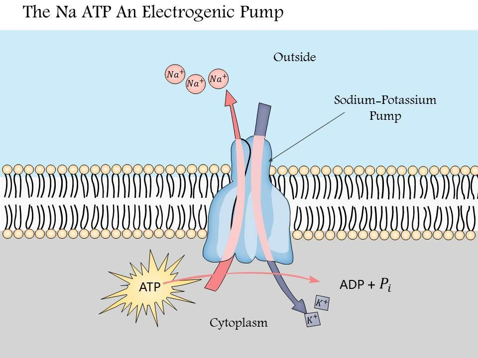 0914 The Na K Atpase An Electrogenic Pump Medical Images For