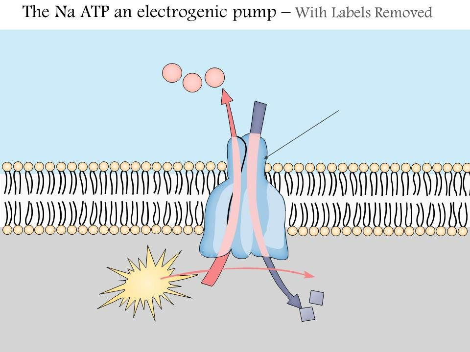 The Na K Atpase An...