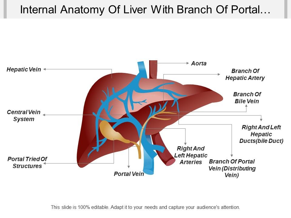 internal anatomy of liver with branch of portal vein branch of