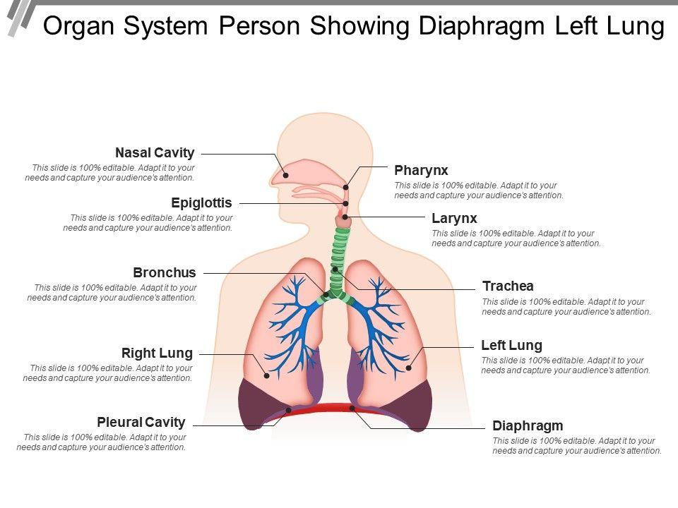 Organ System Person Showing Diaphragm Left Lung Slide01