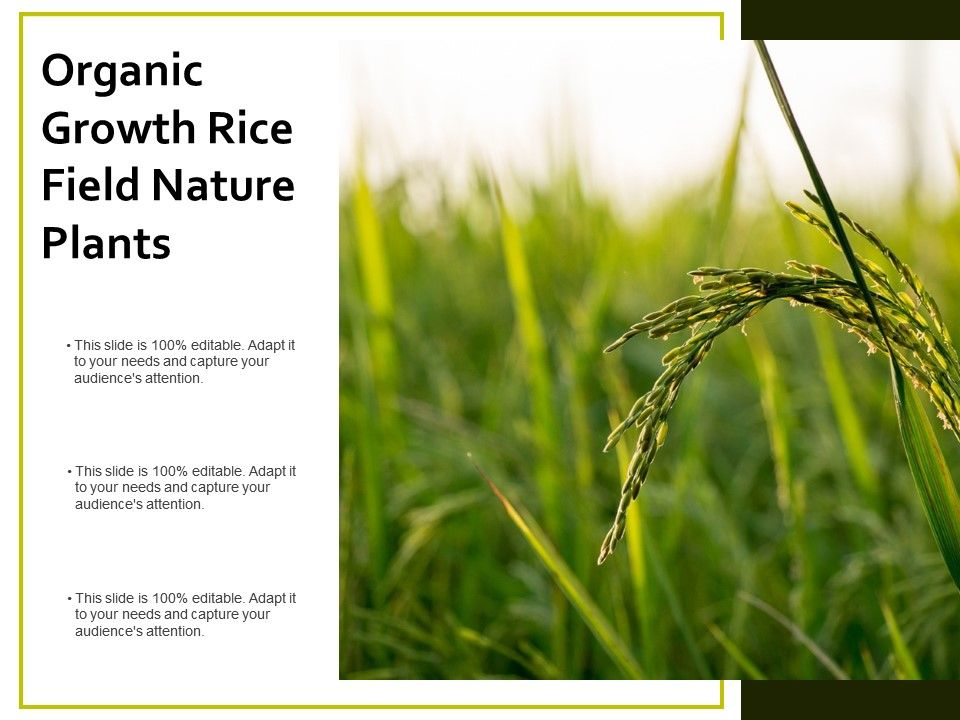 Organic Growth Rice Field Nature Plants | PowerPoint Design